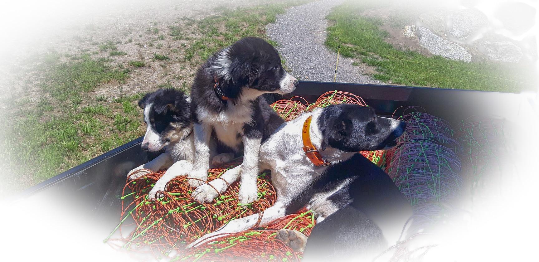 Les border collie chiens de berger