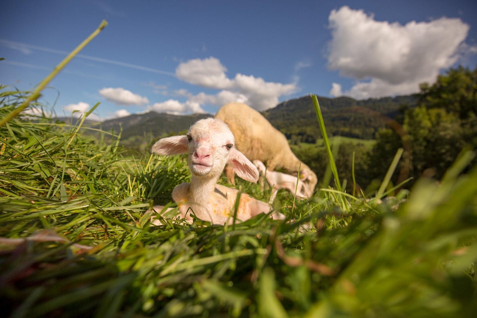 Agnelage, naissance d'un agneau