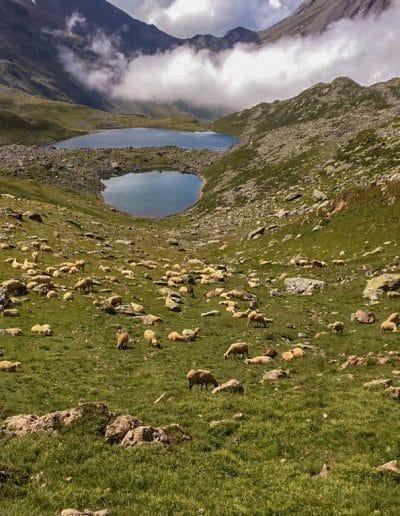 Les brebis en alpage vers les lacs jovet