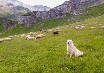 Le patou chien de troupeau